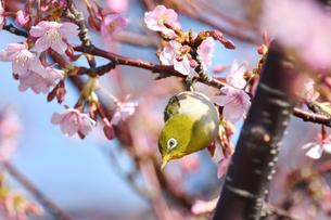 河津桜のメジロの写真素材 [FYI01247753]