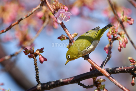 河津桜のメジロの写真素材 [FYI01247754]