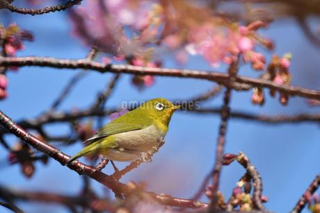 河津桜のメジロの写真素材 [FYI01247755]