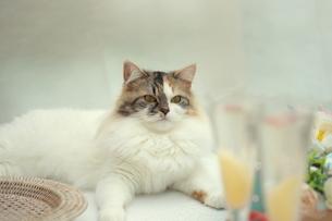 猫と桃のシャンパンの写真素材 [FYI01247851]