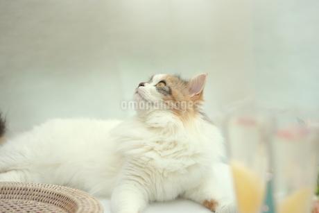 猫と桃のシャンパンの写真素材 [FYI01247852]