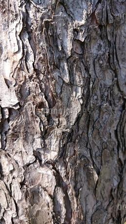 樹皮の写真素材 [FYI01247928]