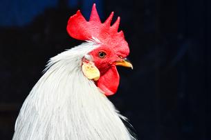 赤いトサカが美しい鶏の写真素材 [FYI01247952]