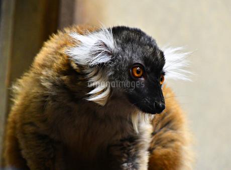 精悍な顔のクロキツネザルの写真素材 [FYI01247953]