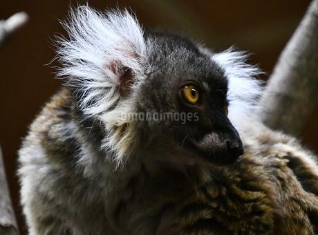 精悍な顔のクロキツネザルの写真素材 [FYI01247954]
