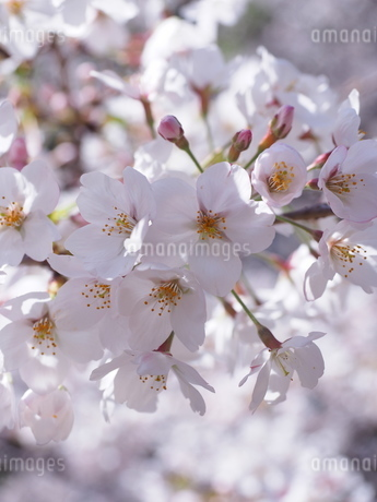 桜の花のアップの写真素材 [FYI01248012]