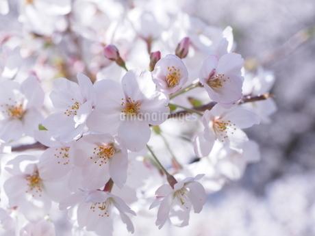 桜の花のアップの写真素材 [FYI01248013]
