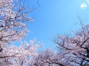 桜の木の写真素材 [FYI01248014]