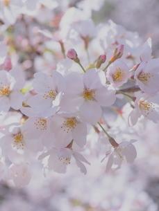 桜の花のアップの写真素材 [FYI01248017]