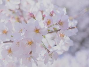 桜の花のアップの写真素材 [FYI01248018]