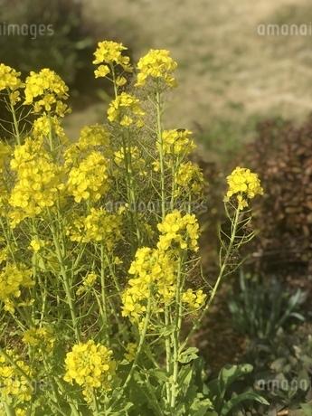 菜の花と蜜蜂の写真素材 [FYI01248150]