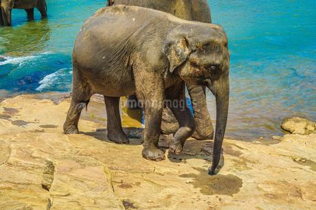 野生の象のイメージ(スリランカ・ピンナワラ)の写真素材 [FYI01248155]