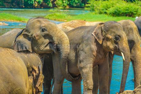 象の孤児院(スリランカ・ピンナワラ)の写真素材 [FYI01248159]