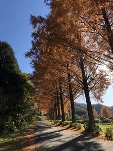 秋の並木道の写真素材 [FYI01248216]