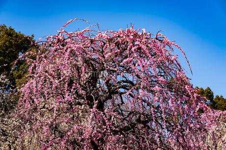梅の写真素材 [FYI01248307]