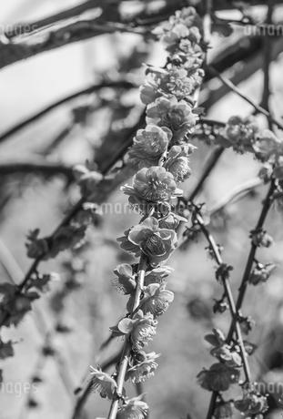 梅の写真素材 [FYI01248312]