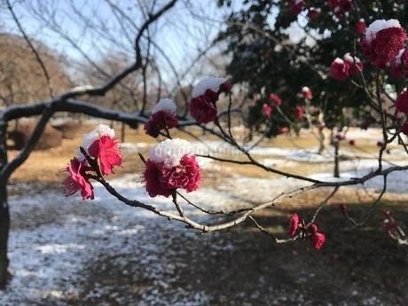 雪と梅の写真素材 [FYI01248402]
