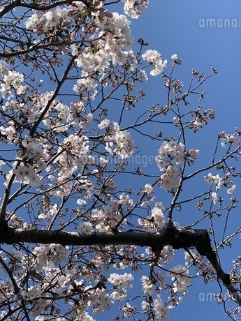 桜の写真素材 [FYI01248409]