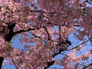 桜の写真素材 [FYI01248456]