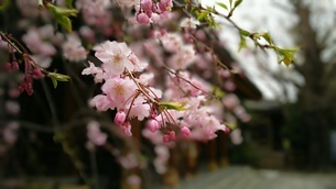 神社境内の枝垂れ桜の写真素材 [FYI01248460]