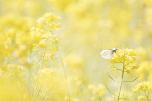 菜の花畑とモンシロチョウの写真素材 [FYI01248475]
