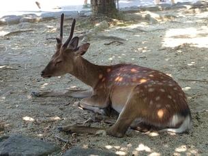 木陰で休む鹿の写真素材 [FYI01248579]