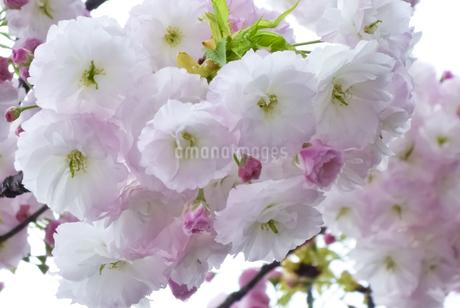 優美で華麗な満開の桜の花々の写真素材 [FYI01248731]
