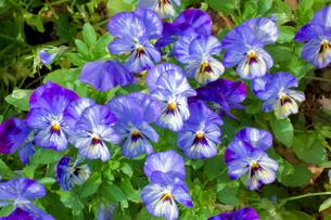 屋外の花壇に華やかに咲く紫などの花びらの写真素材 [FYI01248734]