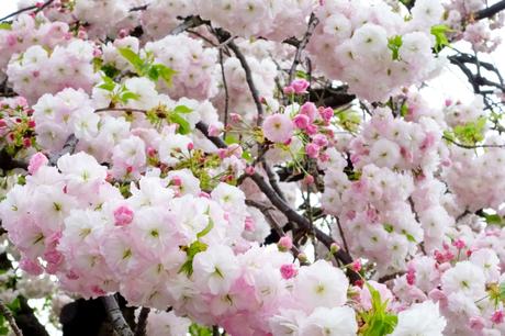 優美で華麗な満開の桜の花々の写真素材 [FYI01248737]
