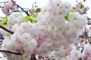 優美で華麗な満開の桜の花々の写真素材 [FYI01248739]