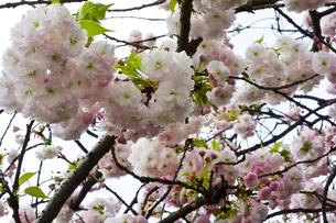 優美で華麗な満開の桜の花々の写真素材 [FYI01248741]