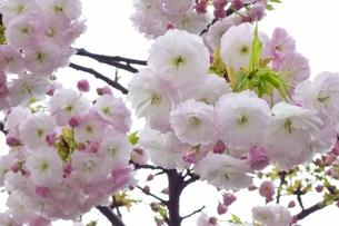 優美で華麗な満開の桜の花々の写真素材 [FYI01248742]