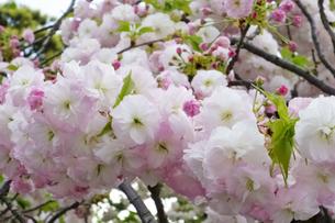 優美で華麗な満開の桜の花々の写真素材 [FYI01248743]