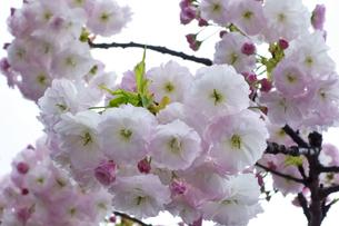 優美で華麗な満開の桜の花々の写真素材 [FYI01248744]