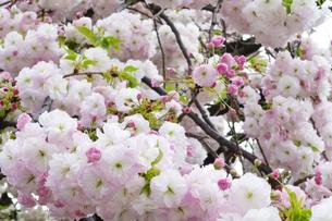 優美で華麗な満開の桜の花々の写真素材 [FYI01248745]
