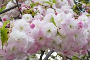 優美で華麗な満開の桜の花々の写真素材 [FYI01248746]