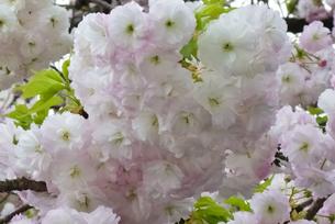 優美で華麗な満開の桜の花々の写真素材 [FYI01248751]