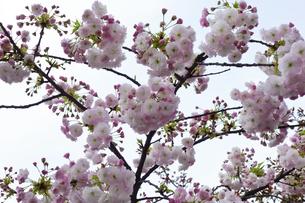 優美で華麗な満開の桜の花々の写真素材 [FYI01248753]