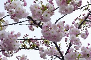 優美で華麗な満開の桜の花々の写真素材 [FYI01248755]