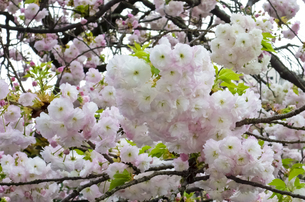 優美で華麗な満開の桜の花々の写真素材 [FYI01248756]