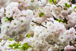 優美で華麗な満開の桜の花々の写真素材 [FYI01248760]
