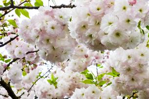 優美で華麗な満開の桜の花々の写真素材 [FYI01248765]