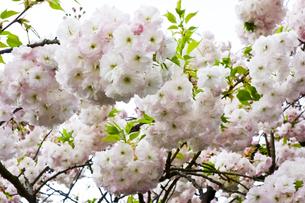 優美で華麗な満開の桜の花々の写真素材 [FYI01248768]