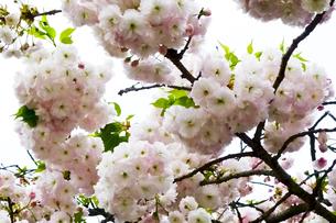 優美で華麗な満開の桜の花々の写真素材 [FYI01248772]