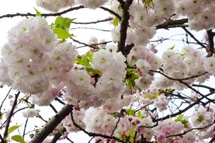 優美で華麗な満開の桜の花々の写真素材 [FYI01248773]