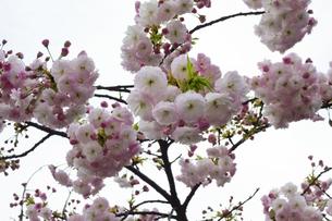 優美で華麗な満開の桜の花々の写真素材 [FYI01248778]