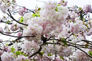 優美で華麗な満開の桜の花々の写真素材 [FYI01248779]