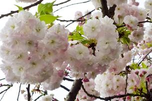 優美で華麗な満開の桜の花々の写真素材 [FYI01248780]