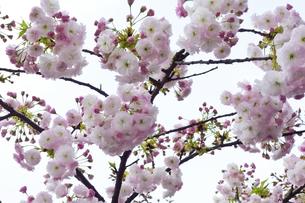 優美で華麗な満開の桜の花々の写真素材 [FYI01248781]