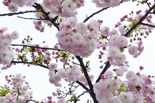 優美で華麗な満開の桜の花々の写真素材 [FYI01248782]